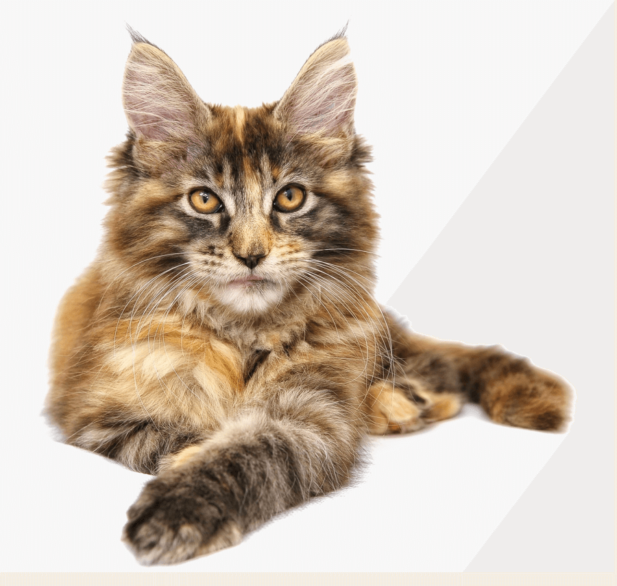 Maine Coon Cat Clipart