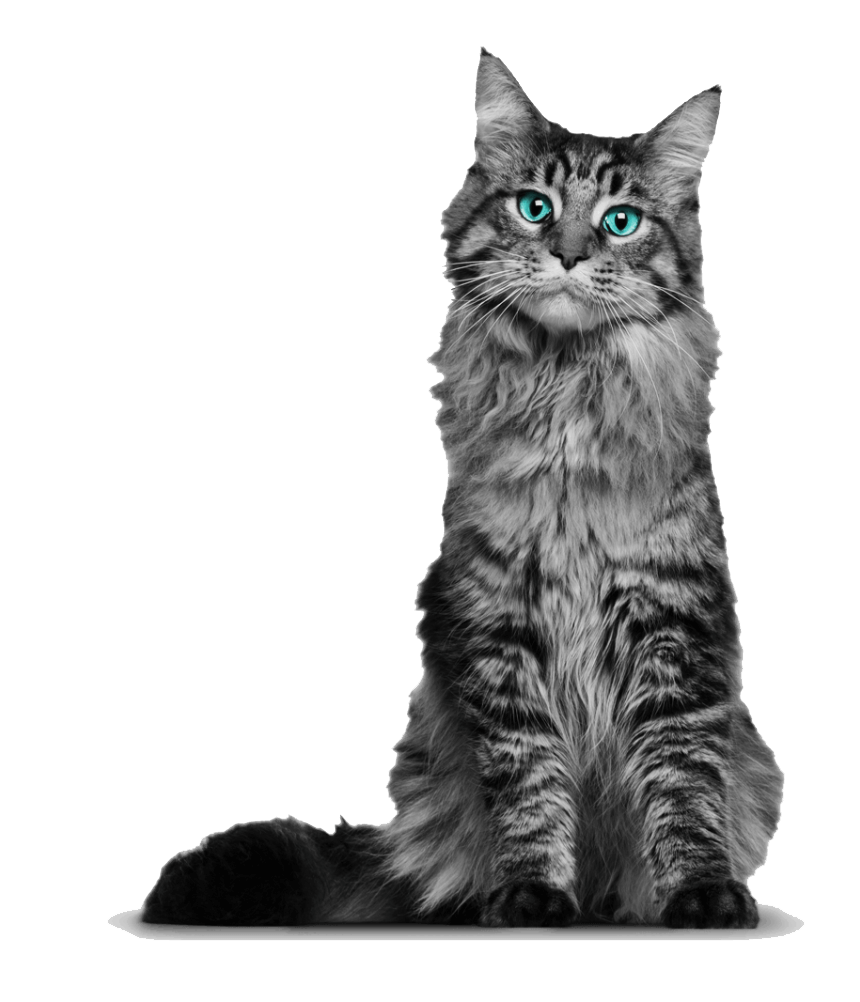 Young Maine Coon Cat clipart transparent