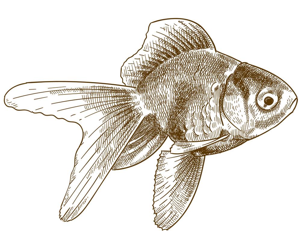 Engraving Goldfish clipart transparent