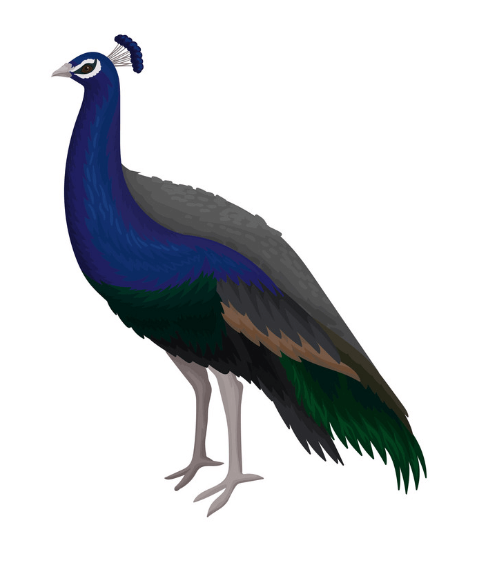 Peacock clipart 2
