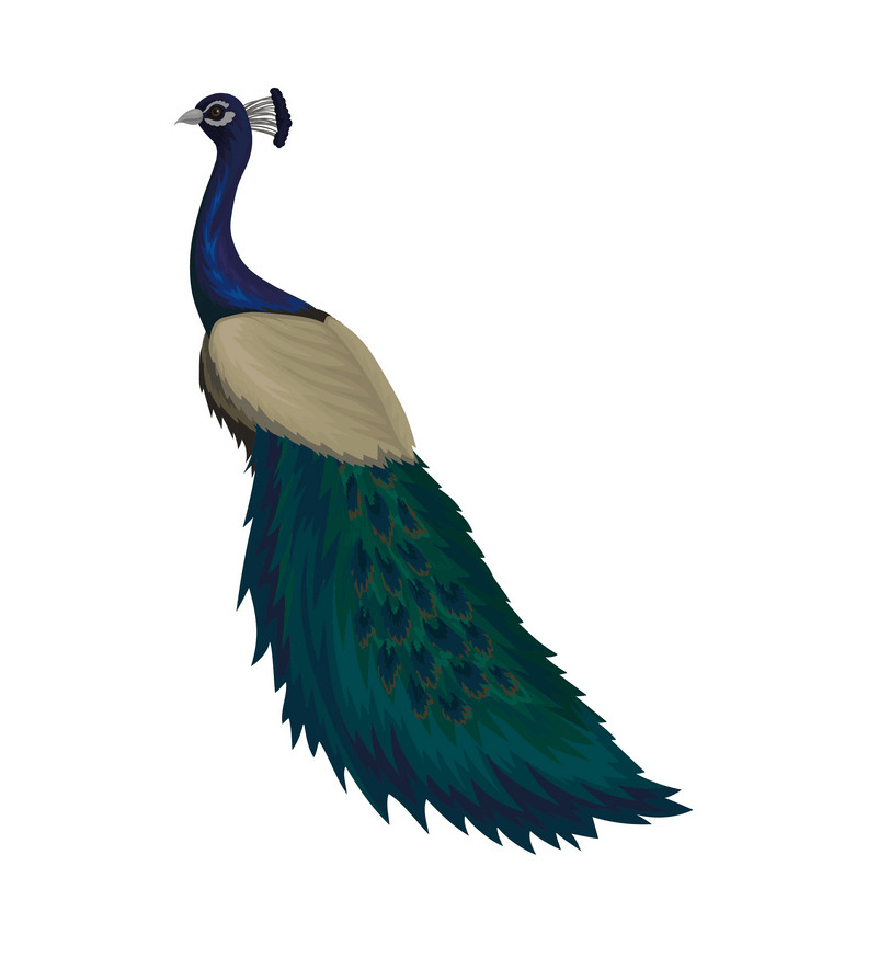 Peacock clipart 3