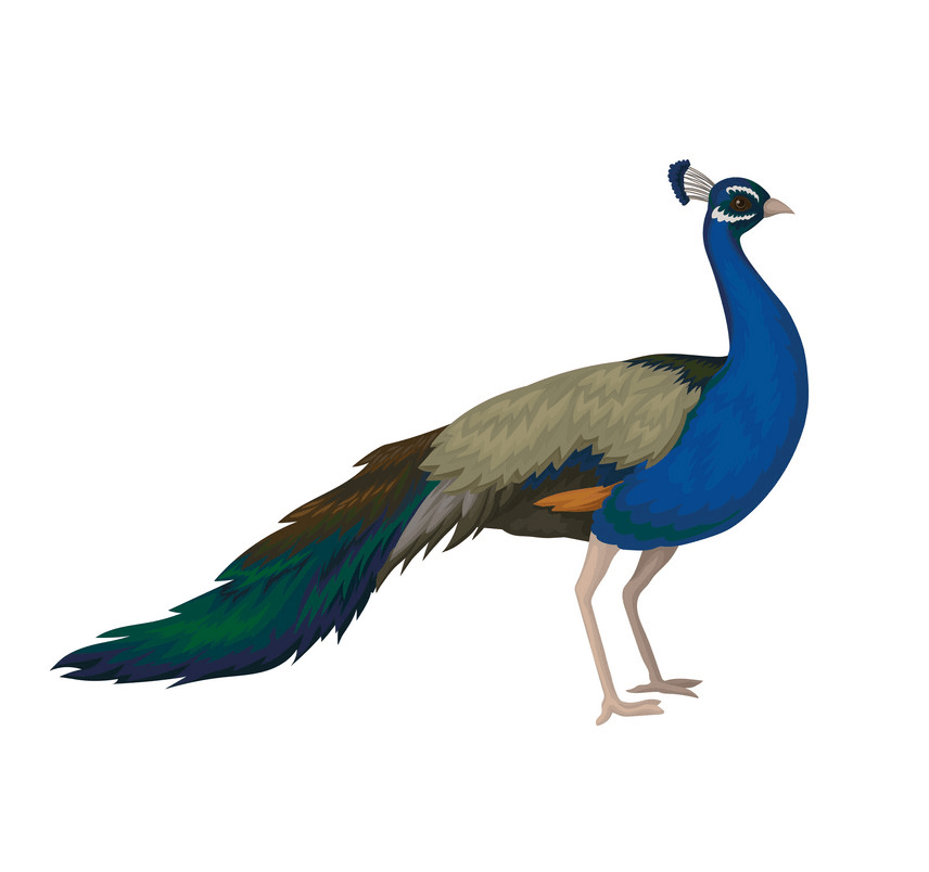 Peacock clipart 4