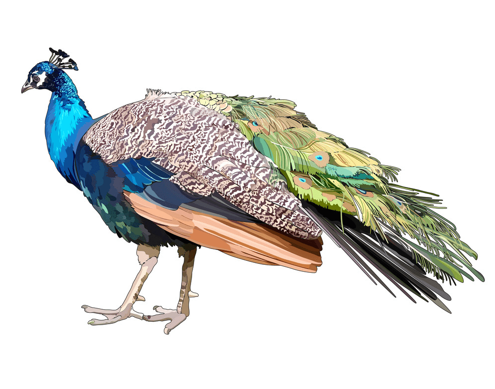 Peacock clipart 5