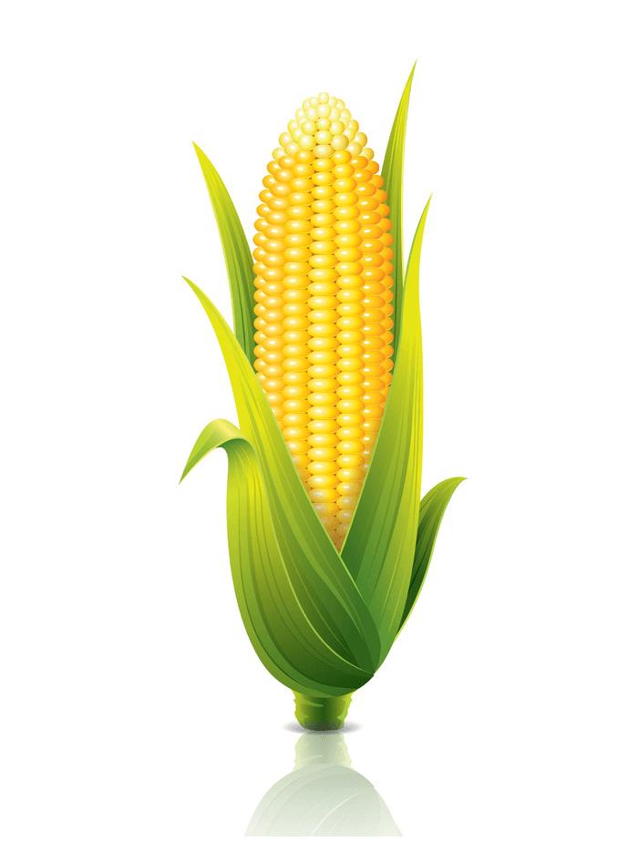 Realistic Corn clipart