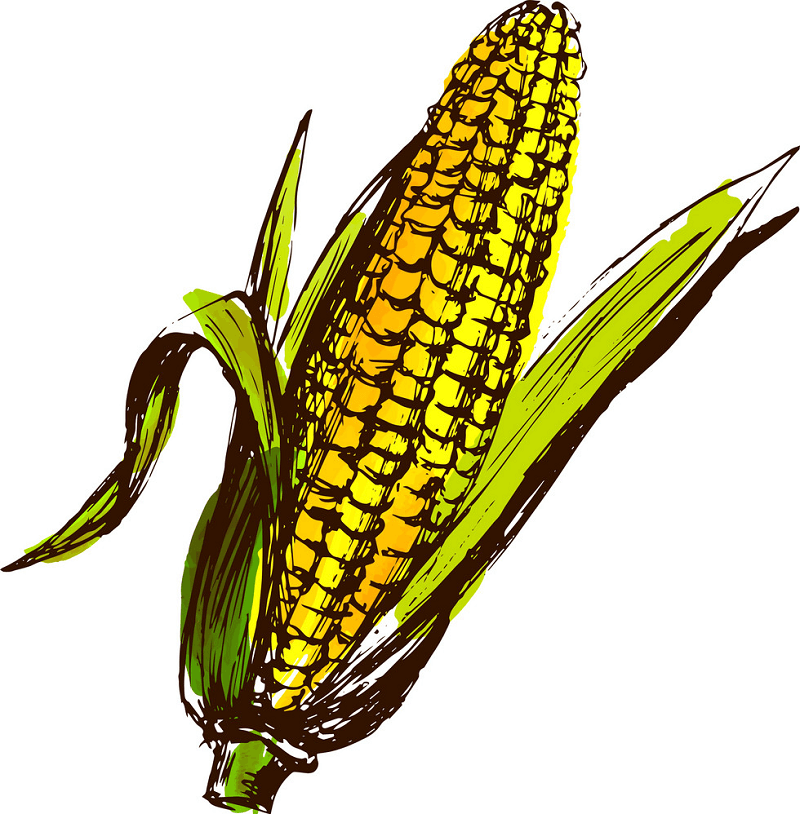 Sketch Corn clipart