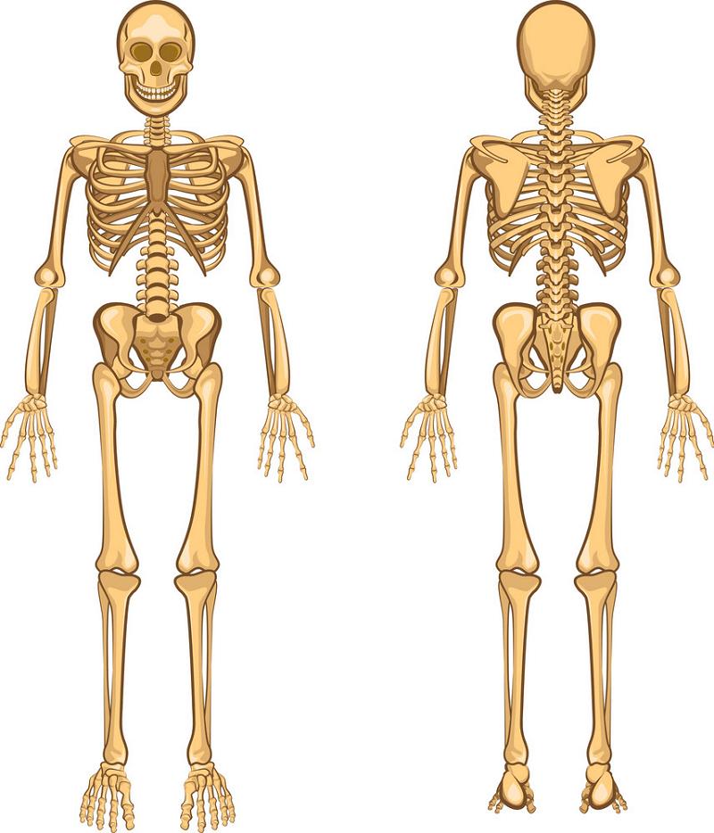 Human Skeleton clipart