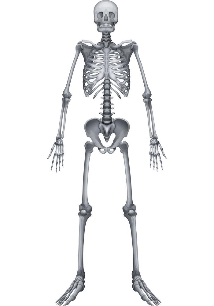 Normal Skeleton clipart