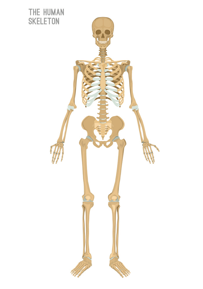 The Human Skeleton clipart