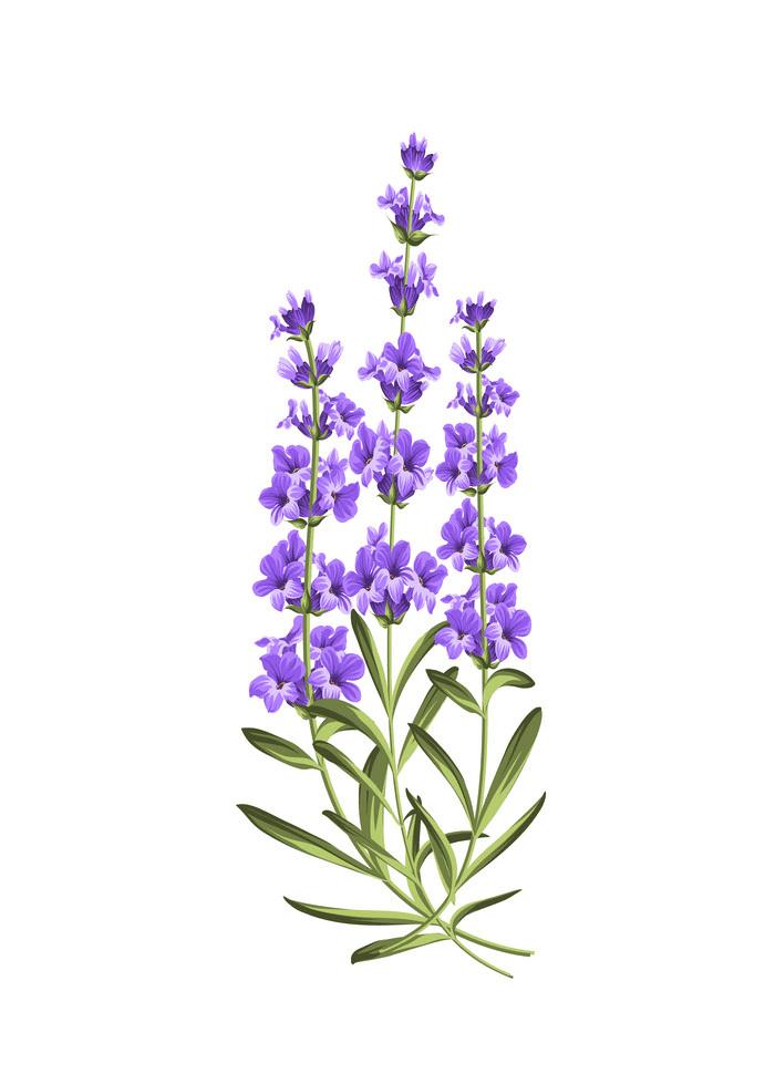 Bunch Lavender clipart