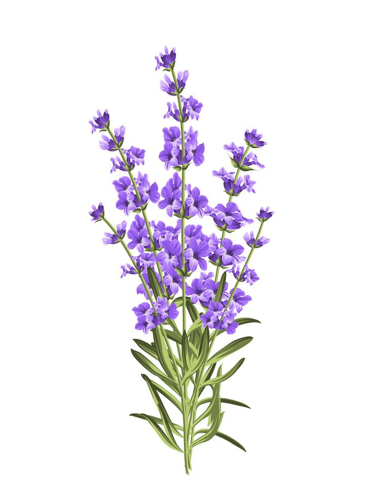 Bunch of Lavender clipart