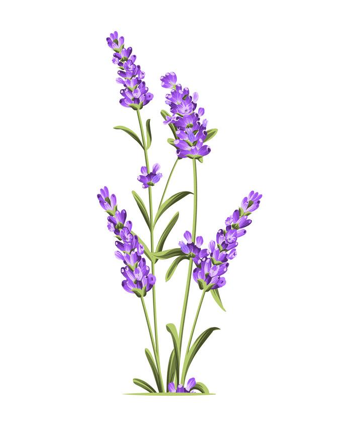 Download Lavender clipart