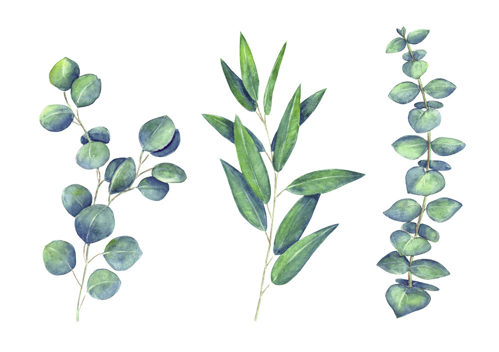 Eucalyptus Leaves clipart png