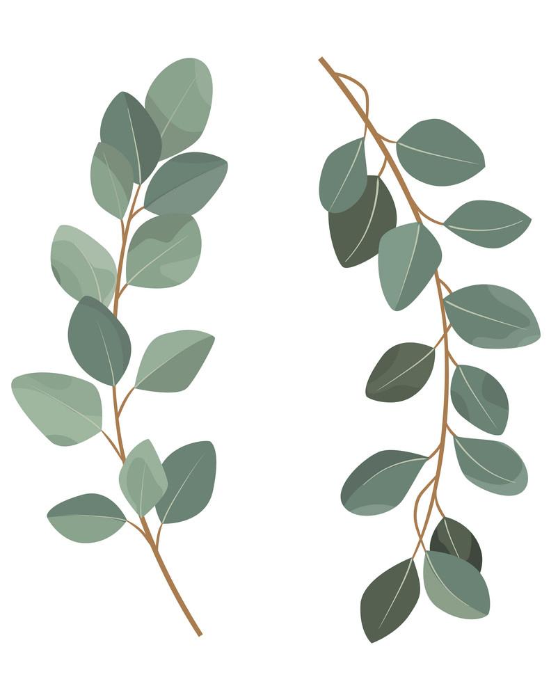Eucalyptus clipart 1