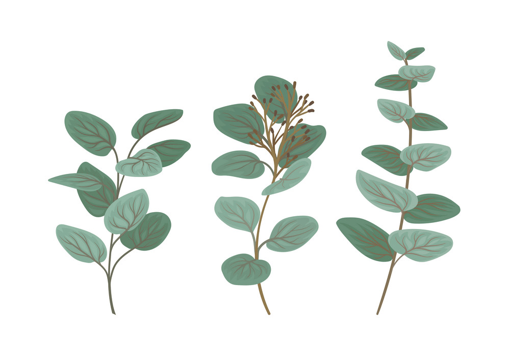 Eucalyptus clipart 2