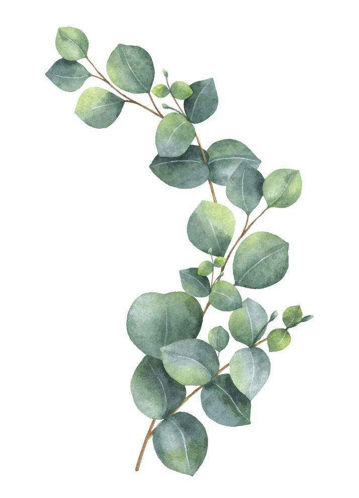 Eucalyptus clipart png