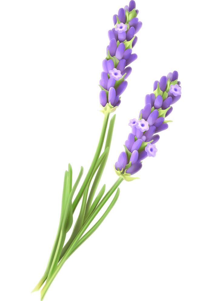 Free Lavender clipart