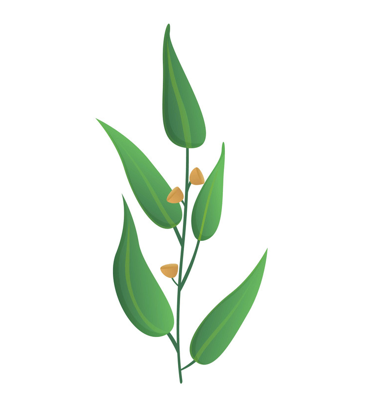 Green Eucalyptus Leaves clipart