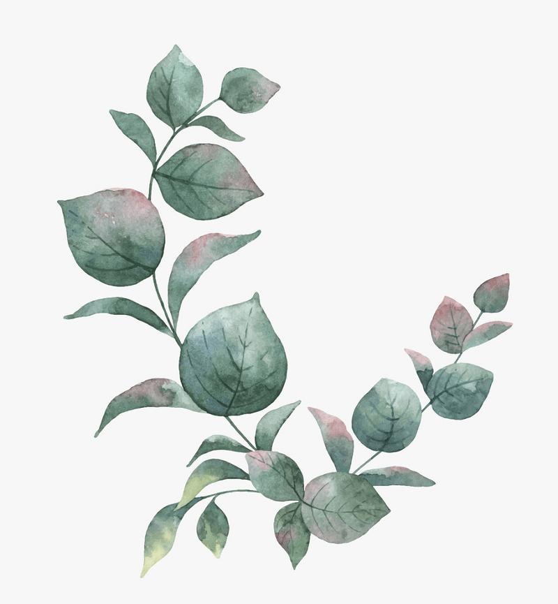 Green Eucalyptus clipart png