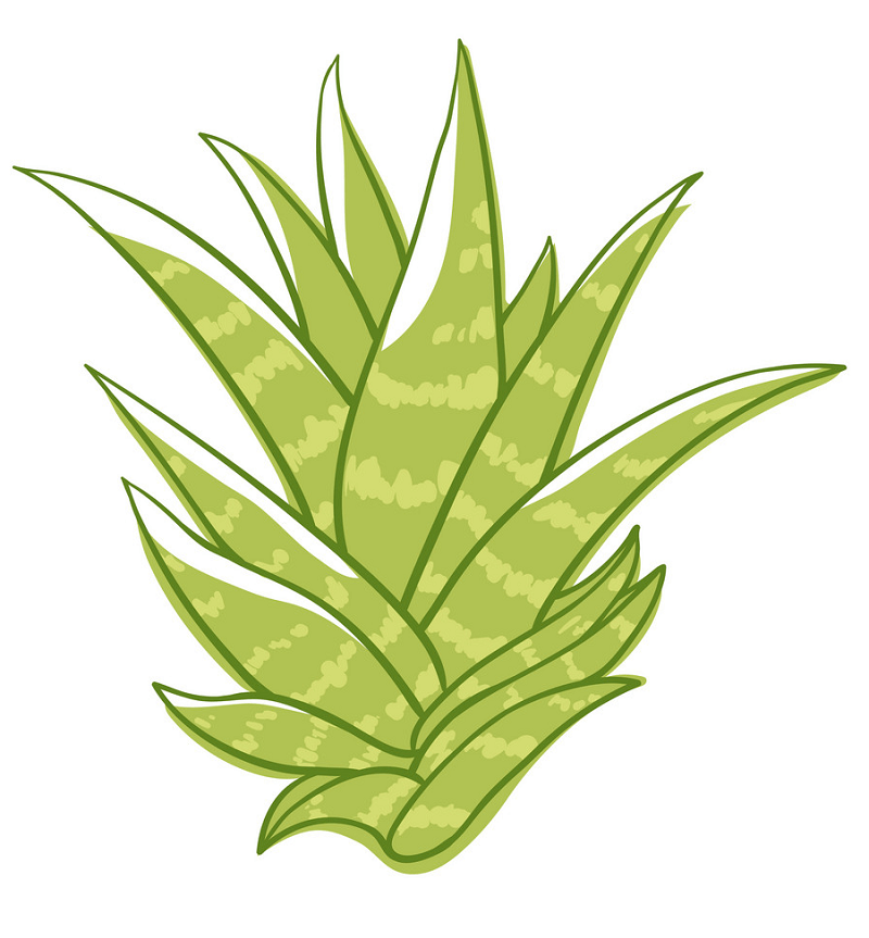 Green Succulent clipart free