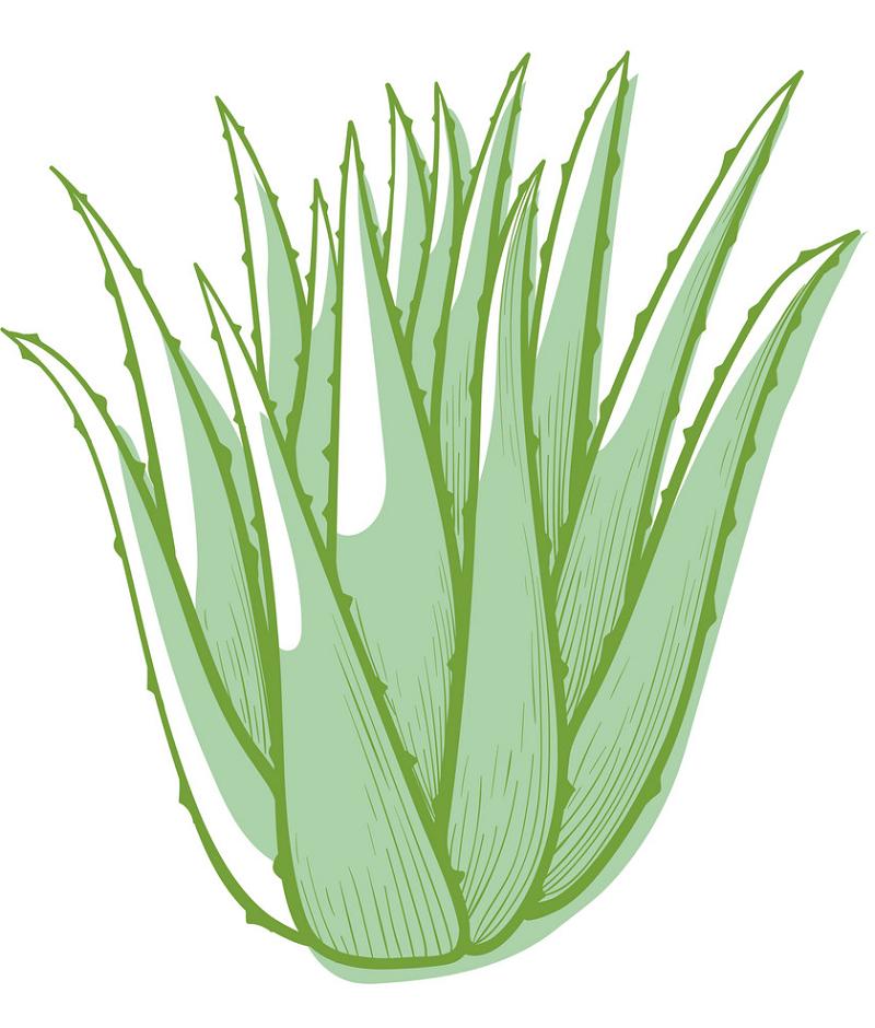 Green Succulent clipart png