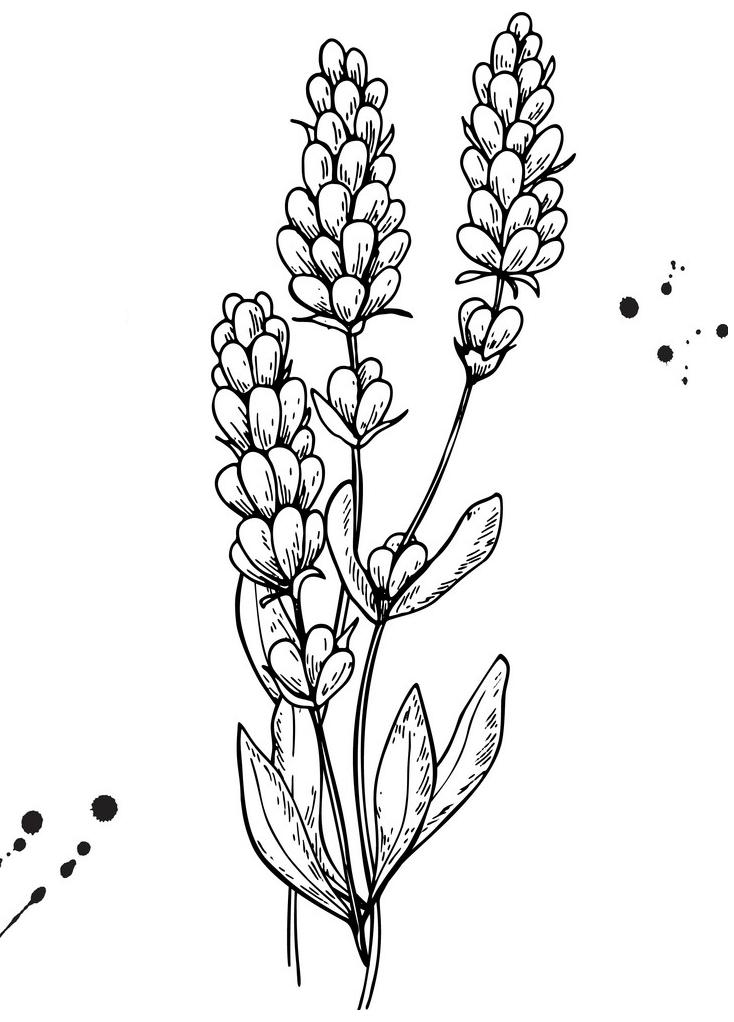 Lavender Clipart Black and White 3