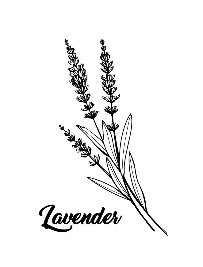 Lavender Clipart Black and White 4
