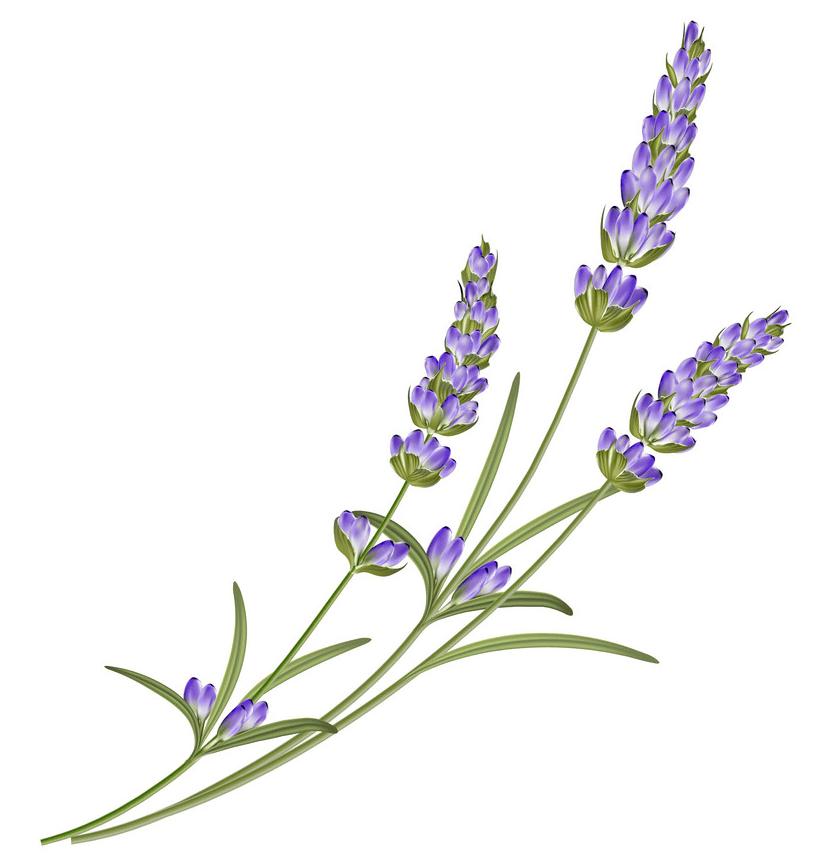 Lavender Flower clipart