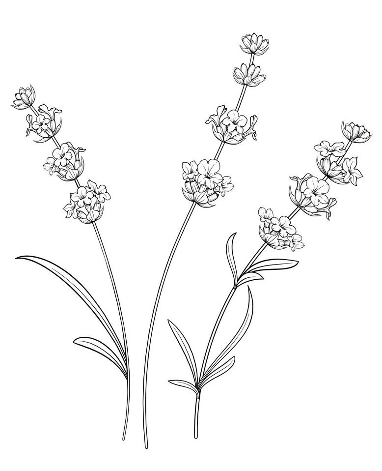 Lavender Flowers Clipart Black and White