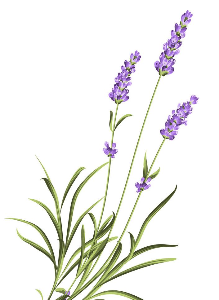 Lavender clipart 1