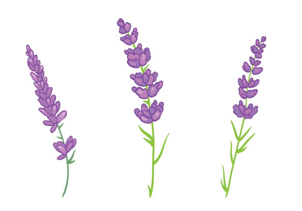 Lavender clipart 3