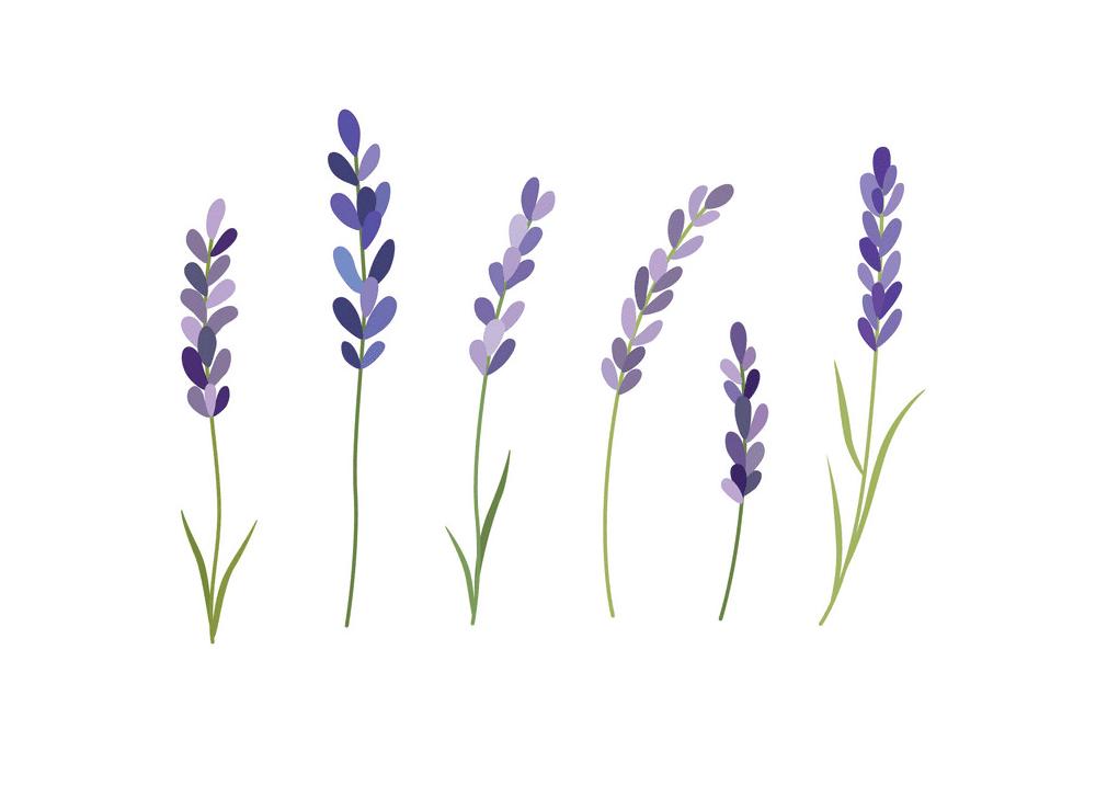 Lavender clipart 4