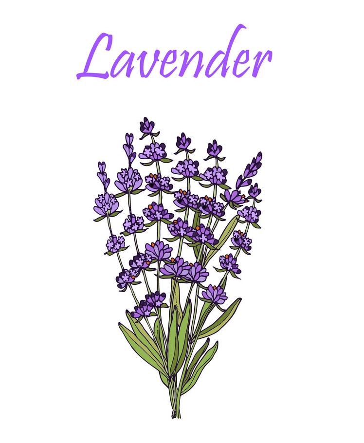 Lavender clipart 5