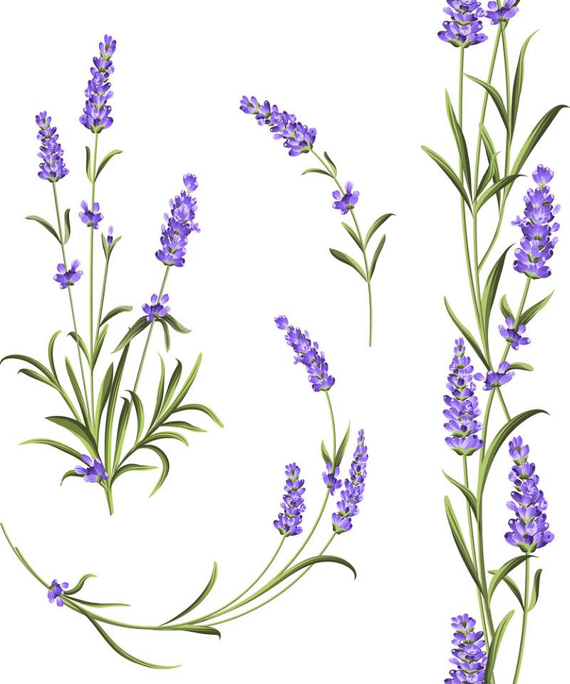 Lavender clipart image