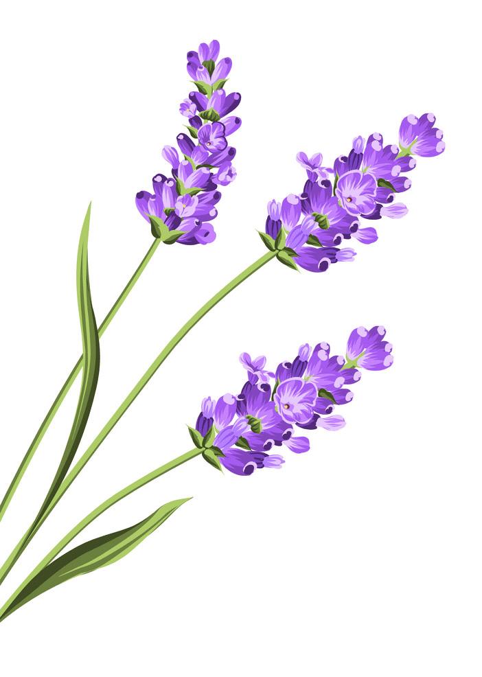 Lavender clipart png