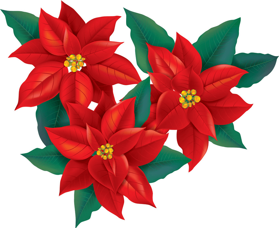 Poinsettia clipart 4