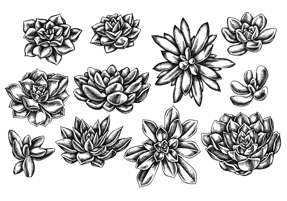 Succulent Clipart Black and White 1