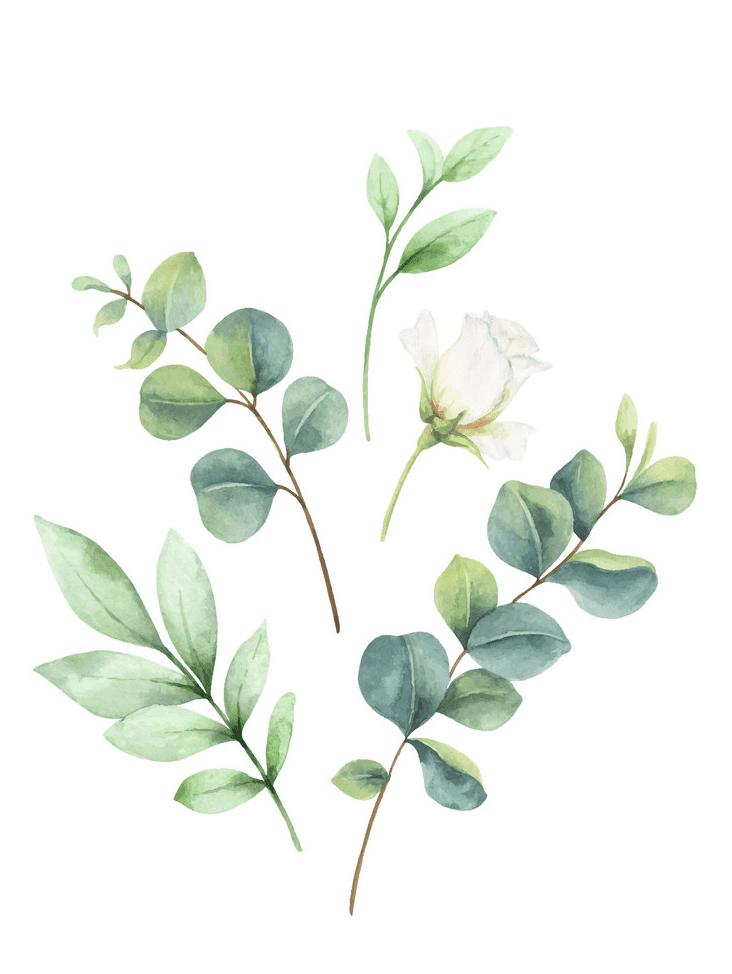 Watercolor Eucalyptus clipart 4