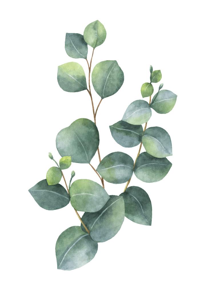 Watercolor Eucalyptus clipart png