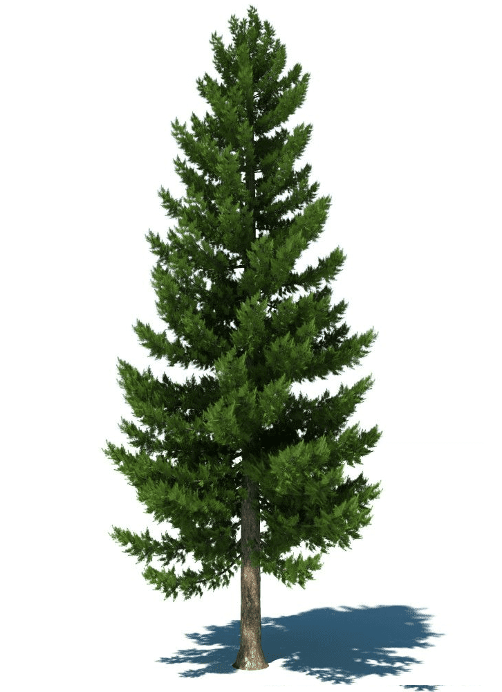 Pine Tree clipart 7