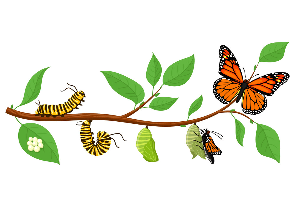 Caterpillar to Butterfly clipart images