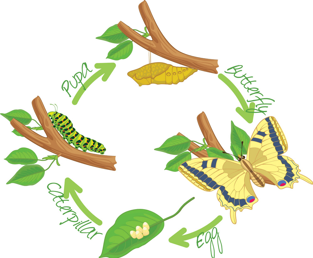Caterpillar to Butterfly clipart png image