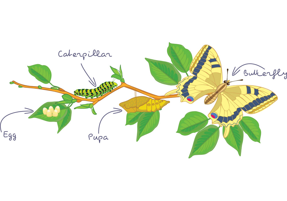 Caterpillar to Butterfly clipart png images