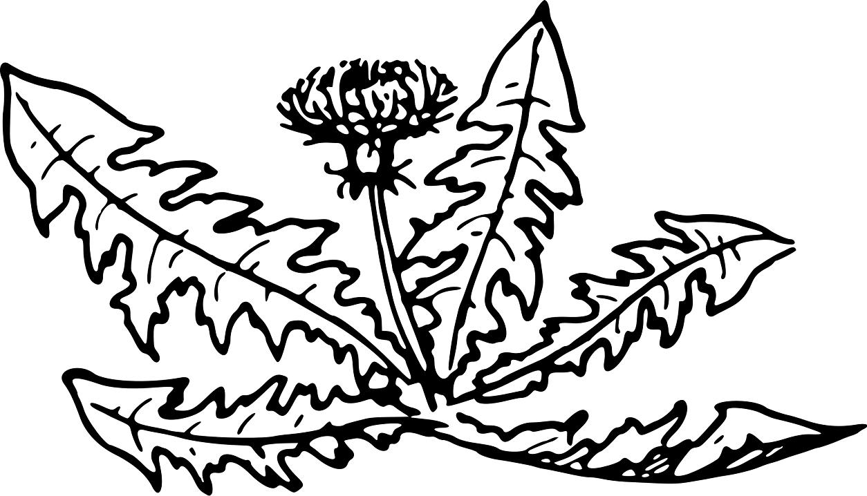 Dandelion Clipart Black and White 6