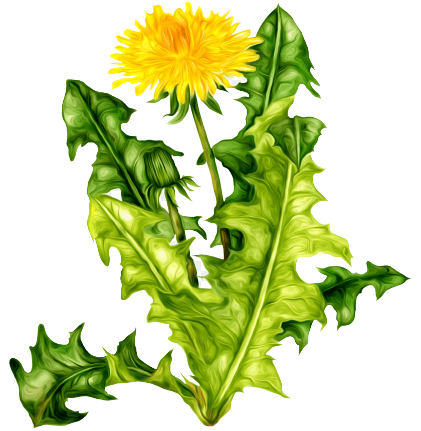 Dandelion clipart 6