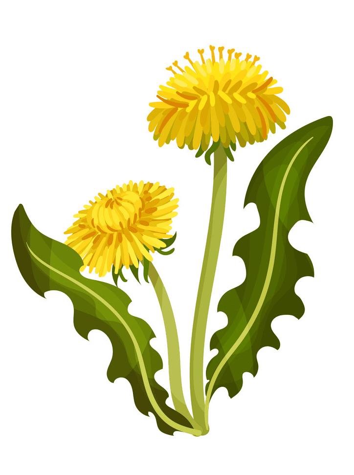 Dandelion clipart free image