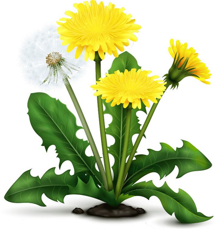 Dandelion clipart image