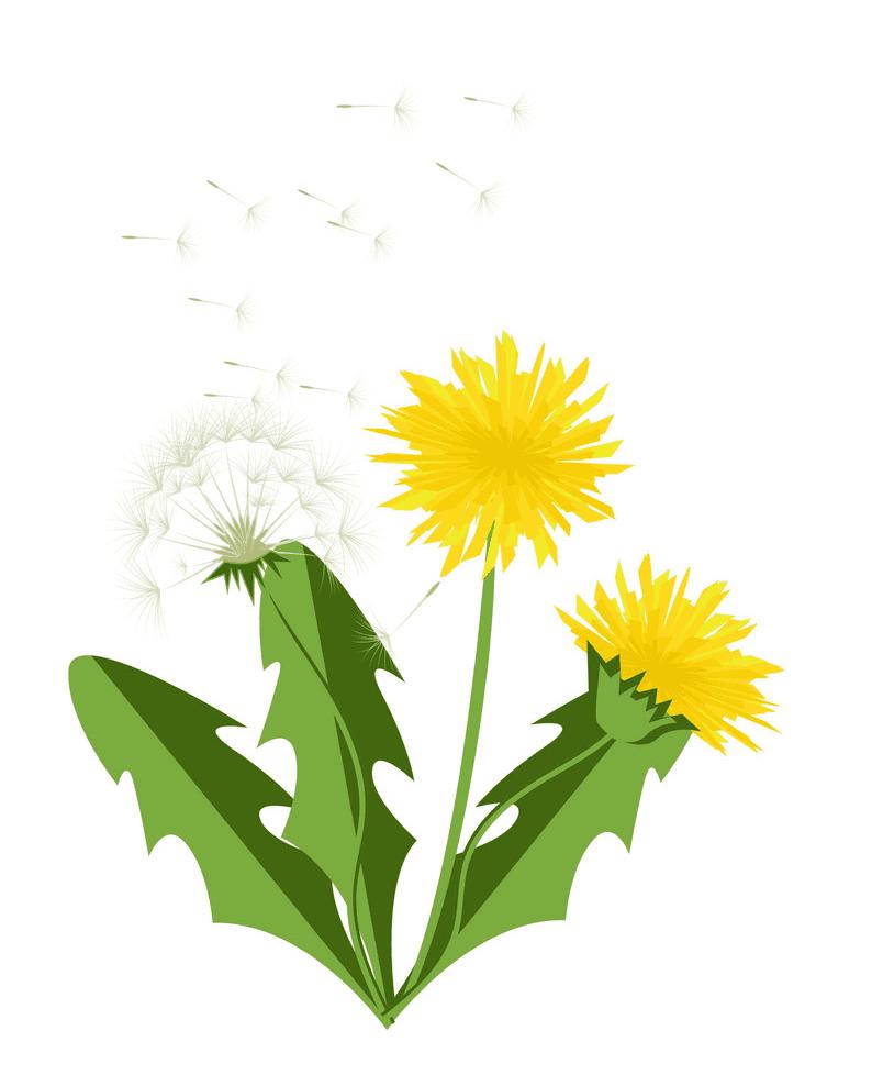 Dandelion clipart png images