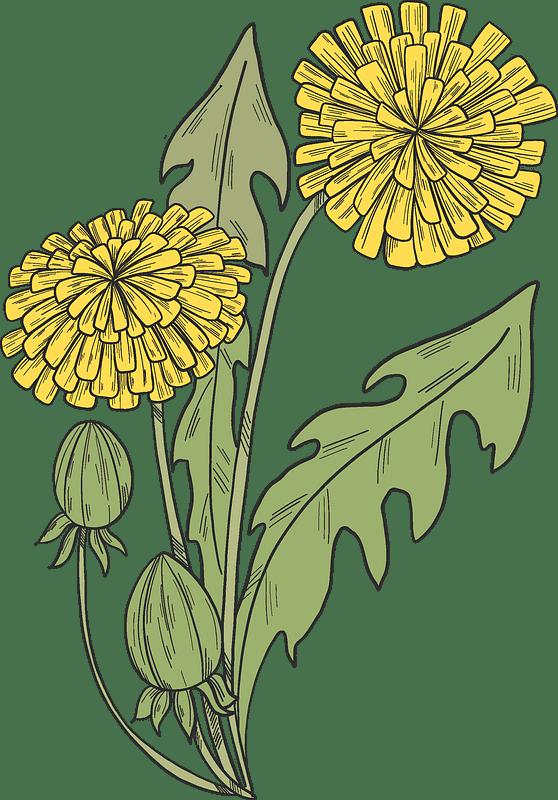 Dandelion clipart transparent 1