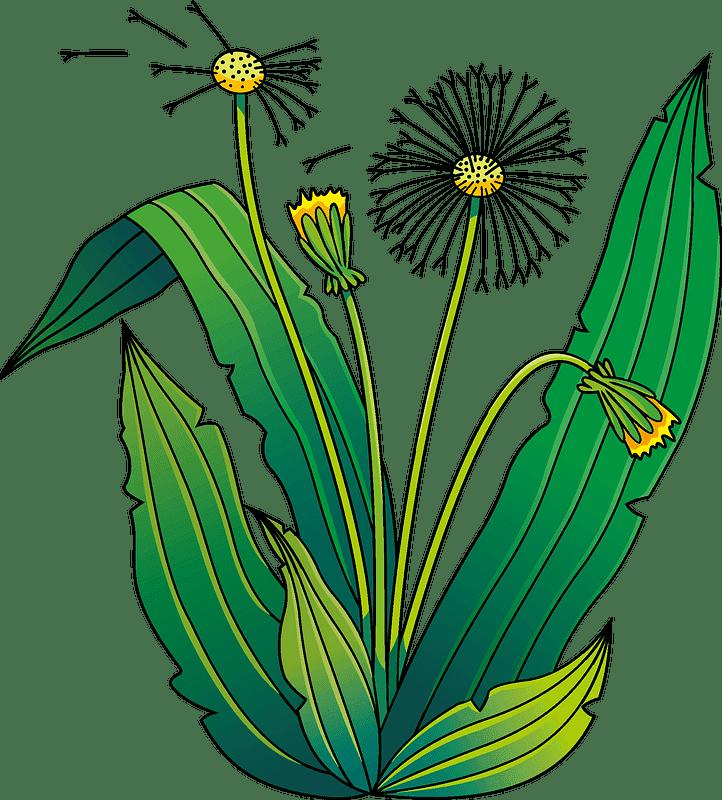 Dandelion clipart transparent 3