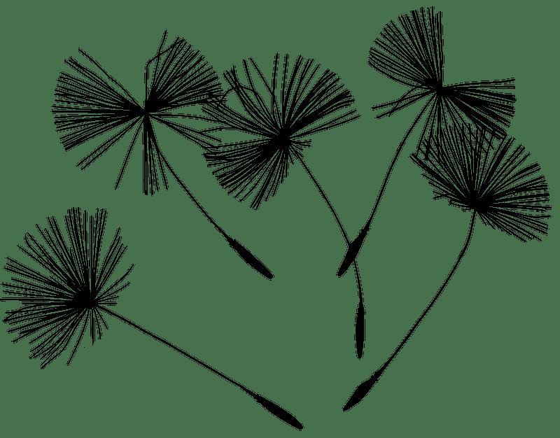 Dandelion clipart transparent 5